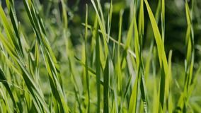 Beetle sits on a blade of grass. grass sways in the wind stock video footage