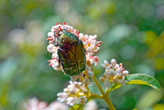 A beetle sits on a flower Royalty Free Stock Photos