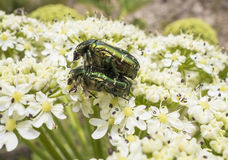 A beetle sits on a flower Royalty Free Stock Images