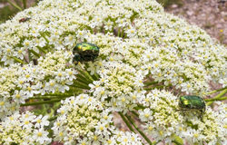 A beetle sits on a flower Stock Image