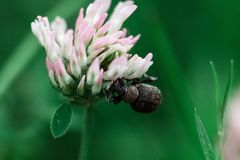 The beetle sits on a white flower stock photos