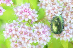 Beetle sitting on flowers. In the garden Royalty Free Stock Images