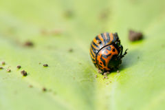 Beetle sitting on a green leaf Royalty Free Stock Images