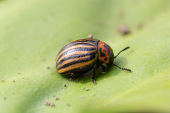 Beetle sitting on a green leaf Royalty Free Stock Photos
