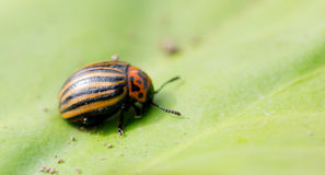 Beetle sitting on a green leaf Stock Images