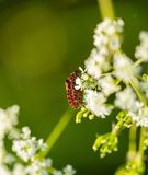 Beetle sitting on plant. Stock Photography