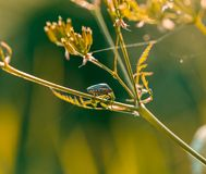 Beetle sitting on plant. Royalty Free Stock Images