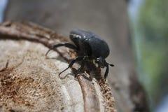 Beetle sitting on a tree Stock Photo