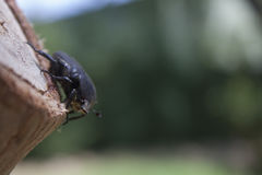 Beetle sitting on a tree Stock Photos