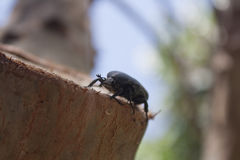 Beetle sitting on a tree Stock Photo