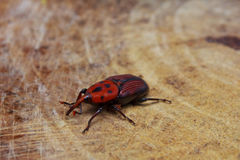 Beetle sitting on the wood Royalty Free Stock Images