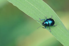Beetle. The small mazarine beetle on grass leaf Stock Photography