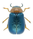 Beetle Smaragdina salicina Stock Photo