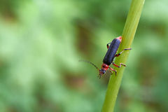 Beetle soldier beetle on a  grass. Stock Images