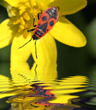 Beetle Soldier By The Water Stock Photography