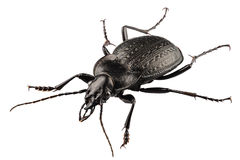 Beetle species carabus coriaceus Royalty Free Stock Images