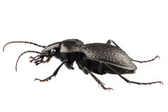 Beetle species carabus coriaceus Stock Photos