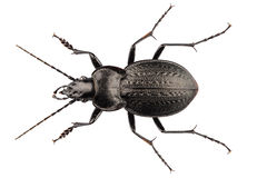 Beetle species carabus coriaceus Stock Image