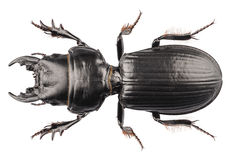 Beetle species Lucanus cervus Stock Image