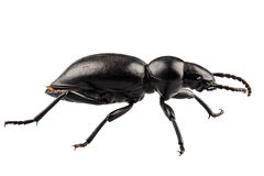 Beetle species Tentyria peiroleri Stock Photo