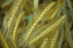 Beetle spikelets Royalty Free Stock Image