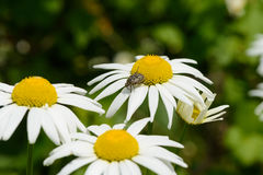 Beetle sprouts daisy flowers. In the garden Stock Images