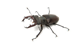 Beetle stag beetle isolated Stock Photography