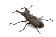 Beetle stag beetle isolated Royalty Free Stock Image