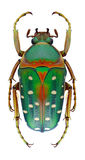 Beetle Stephanorrhina bella Royalty Free Stock Image