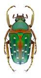Beetle Stephanorrhina bella Royalty Free Stock Image
