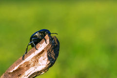 Beetle on a stick isolated on green Stock Photo