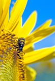 A beetle on a suflower. A black-yellow beetle  on a sunflower Royalty Free Stock Photos