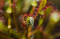 Beetle on Sundew Royalty Free Stock Image