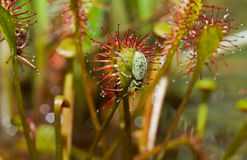 Beetle on Sundew Stock Photos