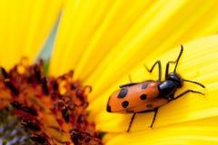 Beetle on sunflower stock photography