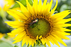 Beetle on a sunflower Royalty Free Stock Photo
