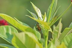 Beetle Stock Image