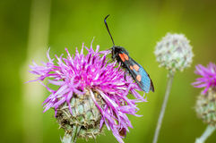 beetle on a Thistle in the woods in the summer, royalty free stock images