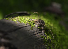 The beetle on the trunk. This beetle called longicorn is climbing upward on the tree trunks covered with moss,the sun shines on it Stock Image
