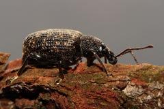 Black snout beetle. Stock Images