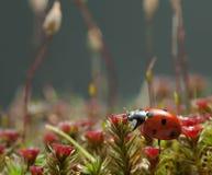 Beetle walking over blooming moss Stock Image
