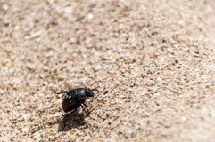 Beetle walking on the sand royalty free stock image