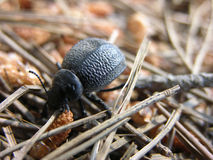 Beetle. That walks in the woods Royalty Free Stock Images