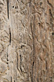 Beetle ways. Bark beetles ways on wood Stock Images