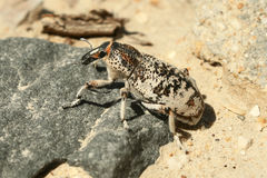 Beetle Weevil. Stock Photography