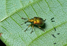 Beetle weevil 2 Stock Photography
