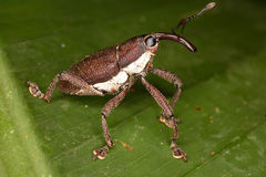 Beetle weevil. Stock Photo