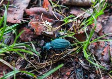 Beetle in wet grass Stock Photography