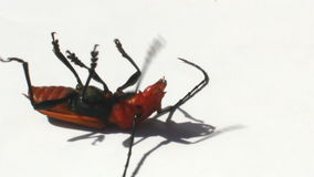 Beetle on a white background stock video footage