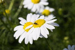 Beetle on white daisy on a green background Royalty Free Stock Images